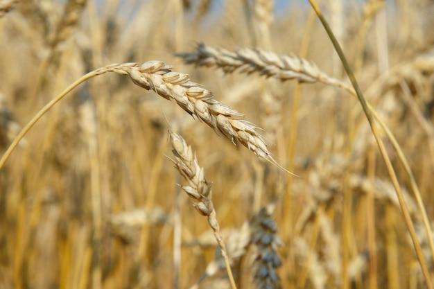 フィールドで小麦の有機黄金熟した耳