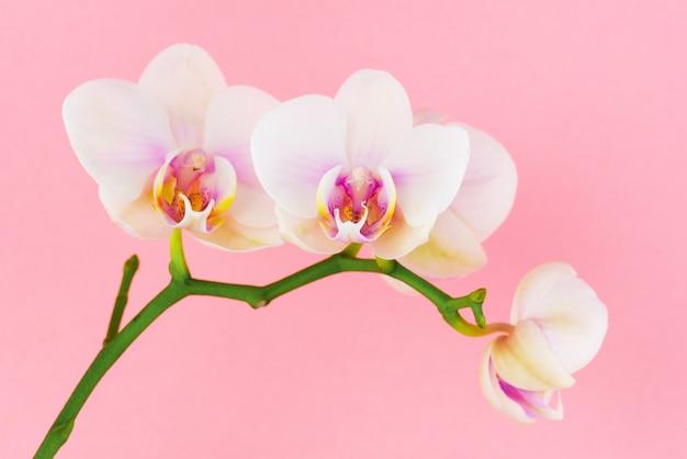 ピンクの胡蝶蘭の白い花