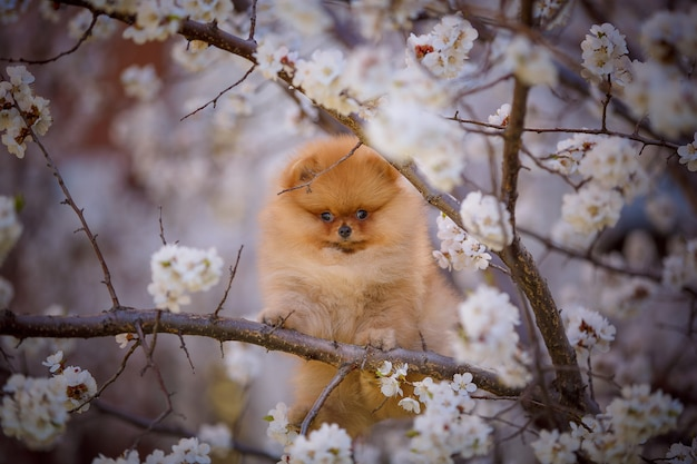 開花木のかわいいポメラニアン子犬の春の肖像画。
