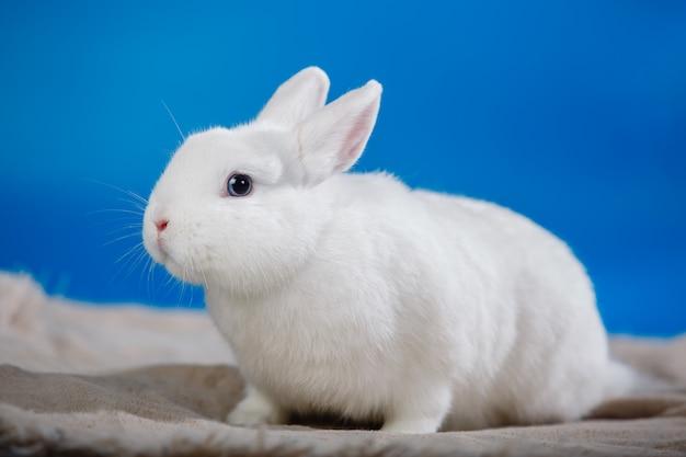 Портрет белого кролика с голубыми глазами.