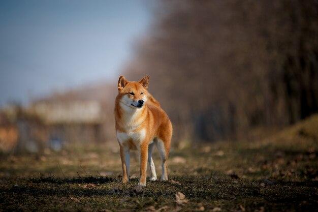 散歩する柴犬犬。