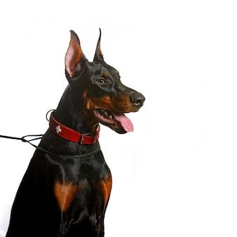分離された美しいドーベルマン犬の肖像画