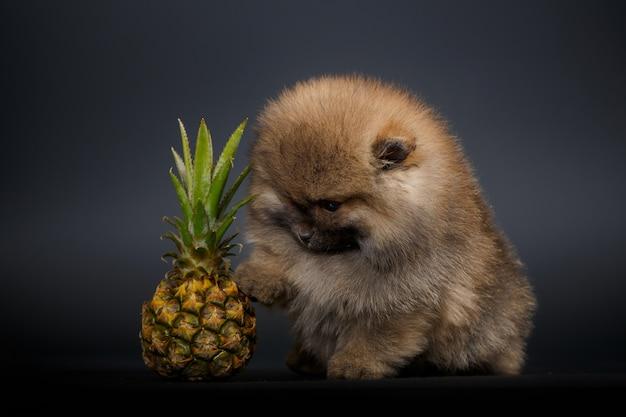 パイナップルとかわいい子犬の肖像画クローズアップ