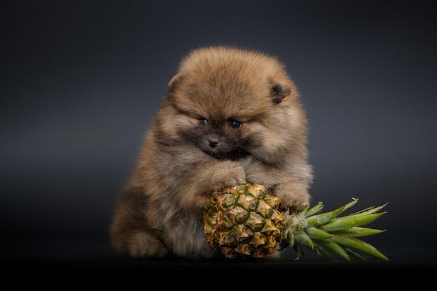 パイナップル、クローズアップ、黒の背景に分離されたかわいい子犬の肖像画。