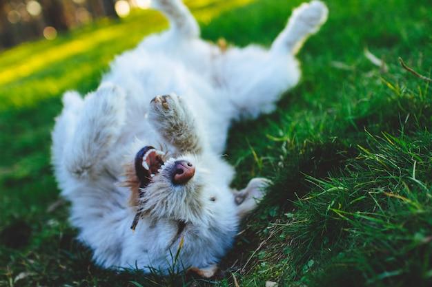 Счастливая, игривая, жизнерадостная белая собака играет с палкой в парке на зеленой траве. друг человека