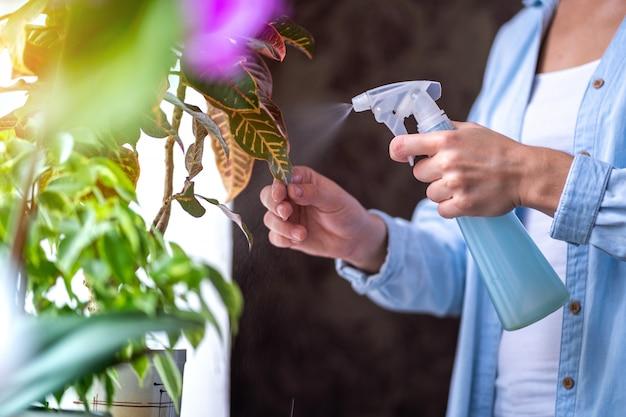 女性は植木鉢に植物をスプレーします。主婦が自宅で家の植物の世話をし、スプレーボトルから純水で花を噴霧