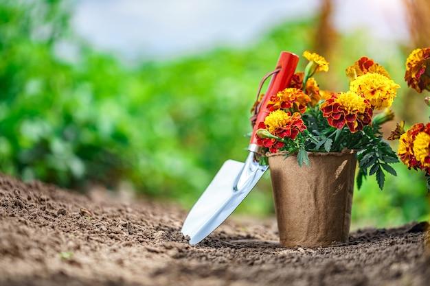 Лопата и горшок с цветами календулы для посадки в домашнем саду