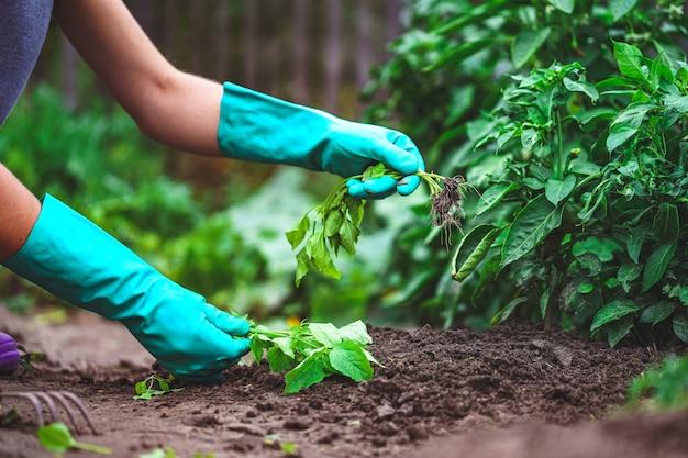 庭で春の除草野菜。ガーデニングと野菜の栽培