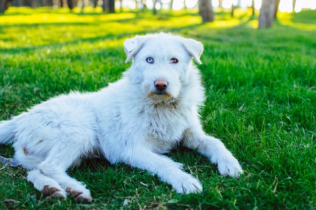 白いふわふわの野良犬の肖像画。耳にチップがあり、異色症があります。犬の休息と公園の緑の草の上に横たわる。動物異色症