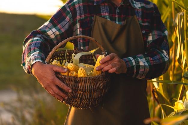 エプロンの農家の手で熟した、ジューシーな新鮮なトウモロコシのバスケット。トウモロコシの収穫。日没時の農夫