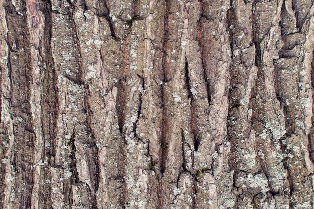 古い木のクローズアップの樹皮のテクスチャー。レイアウトの抽象的な背景。