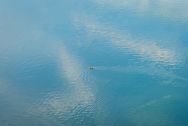 湖でアヒル。