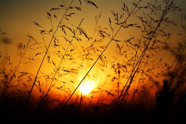 黄金の夕日に対する草のシルエット