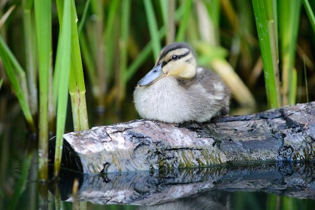 魚を捕まえた後のログの安静時の小さな美しい鴨