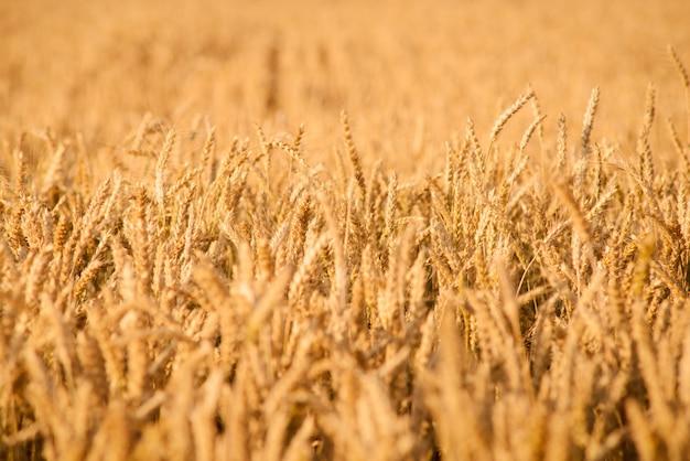 黄金の熟した小麦畑で収穫の準備ができて