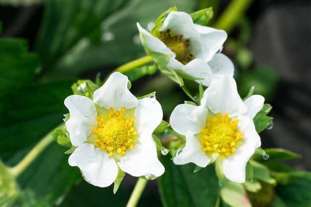 太陽のイチゴの花