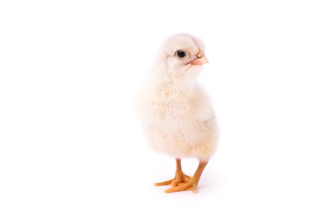Белая маленькая курица