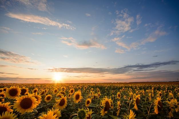 最後の太陽光線に照らされた小さな雲と美しい夕日と魅力的な空とひまわり畑
