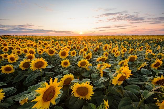 ひまわりの背景。夕日に対して咲くひまわりの大きなフィールド
