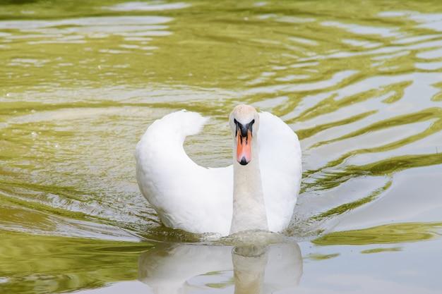 Одинокий белый лебедь, плавающий на озере