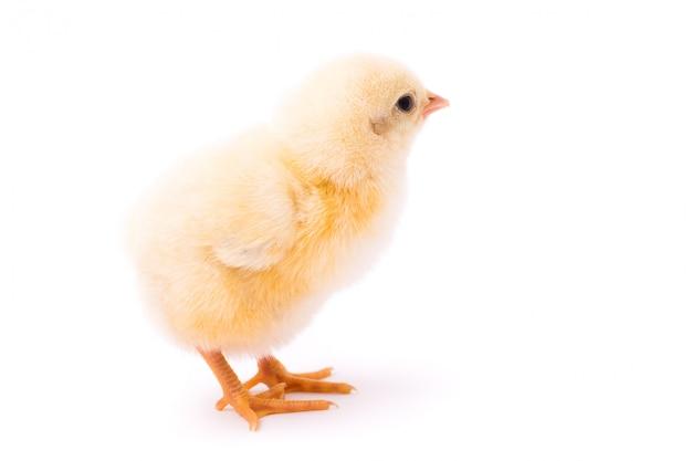分離された小さな黄色の鶏