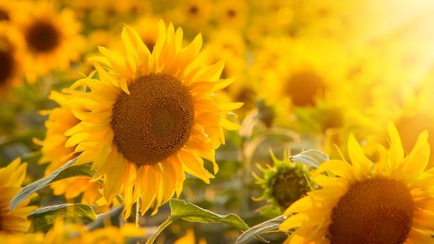 Крупным планом картина цветущего подсолнуха против заходящего солнца