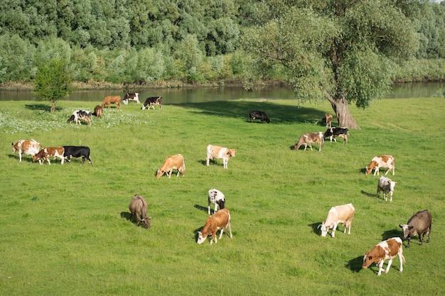 川の近くのフィールドで放牧牛と羊