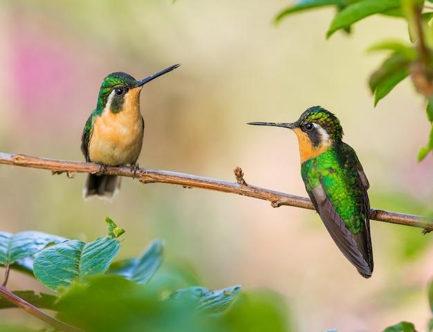 Две колибри сидят на насесте, глядя друг на друга