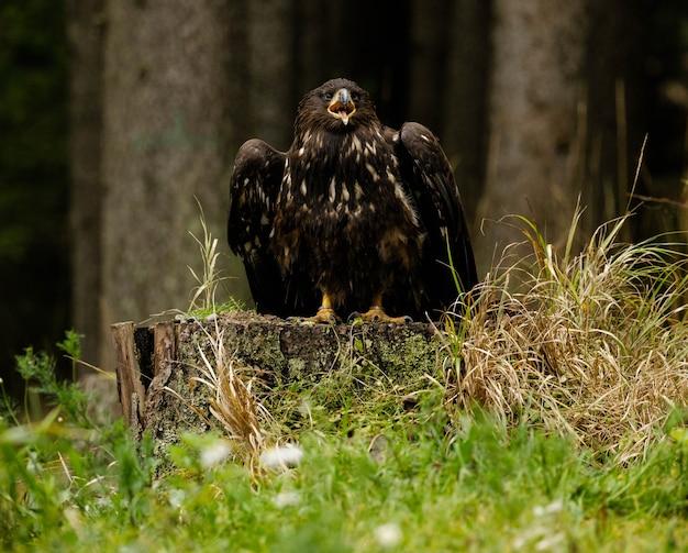 Молодой орлан-белохвост в форресте