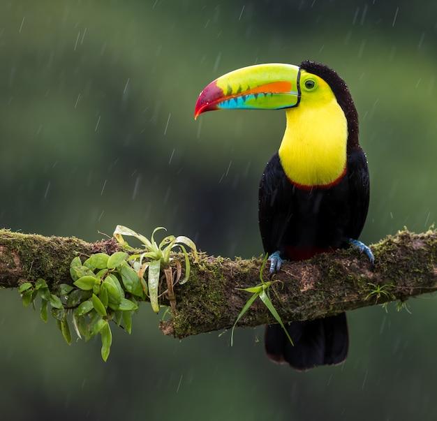 雨の中でオオハシ