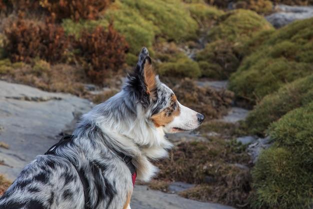 山の中のトリコロールボーダーコリー犬のクローズアップ