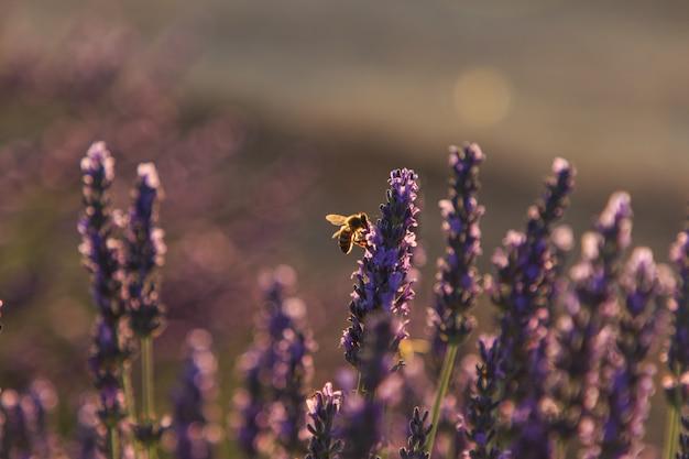 ラベンダー畑で蜜を食べるミツバチ。昆虫のコンセプト
