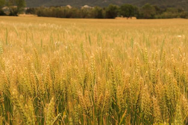 暑い日に小麦でいっぱいのフィールド
