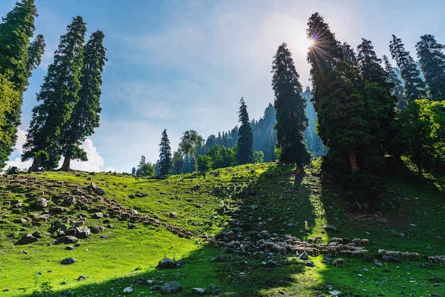 牧草地を歩いている羊のグループとの風光明媚な自然の田園風景