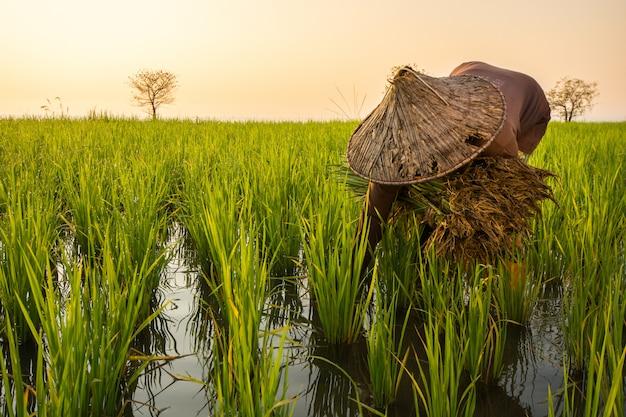農民はタイ、パッタルンのパクプラ村の湖でイネの苗を移植しています