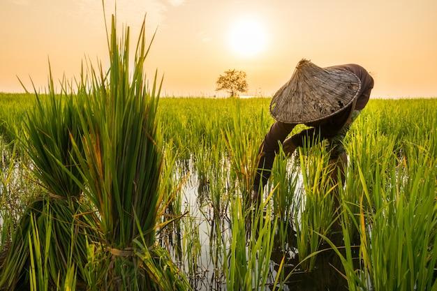 Фермер пересаживает саженцы риса в озере в деревне пакпра, пхаттхалунг, таиланд