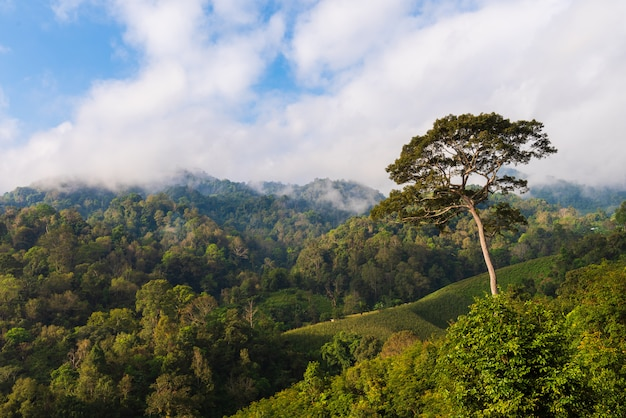 Большое дерево в лесу с туманом и голубым небом