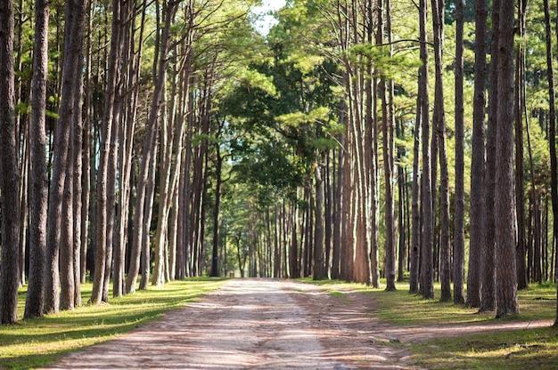 タイ、チェンマイのボル・ケオ公園の松林