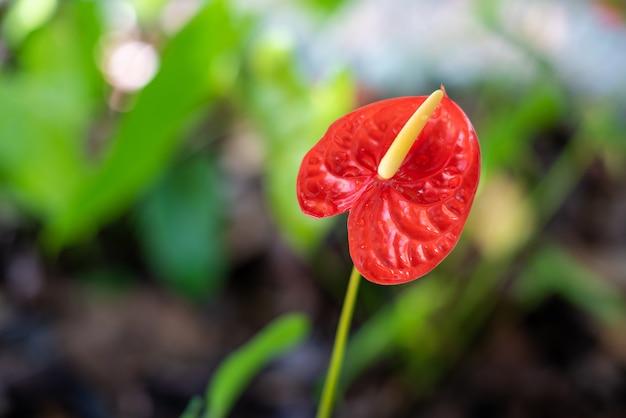 フラミンゴの花または少年の花の赤