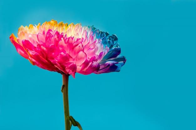 Разноцветный цветок на синем фоне копия пространство