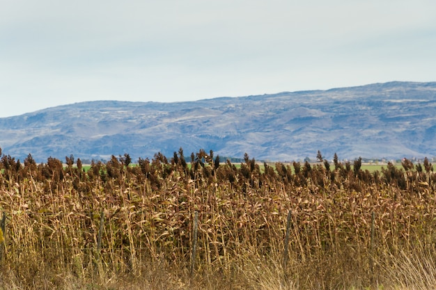 山の麓のモロコシのプランテーション