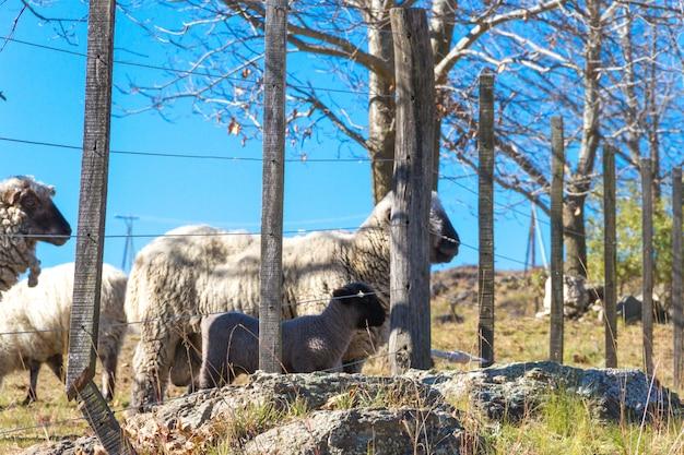 アルゼンチンのコルドバ山脈の羊の放牧