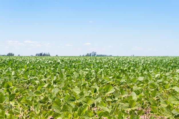 アルゼンチンパンパの夏の大豆農園