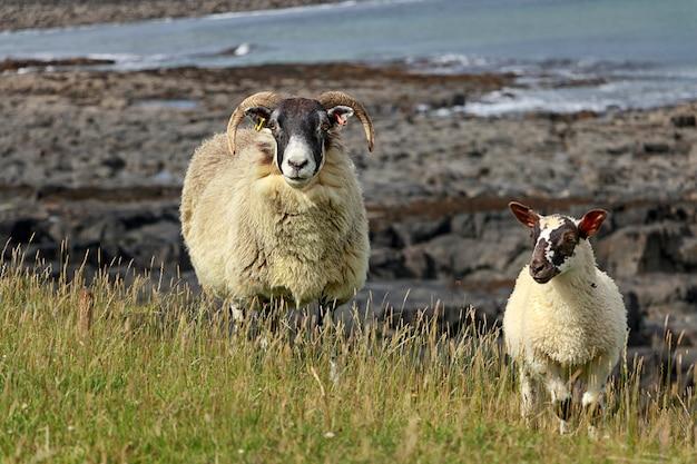 大人の羊と小羊がイギリスの北海のビーチの近くを歩いています