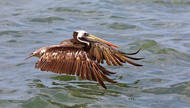Перуанский пеликан в полете на тихом океане. лима, перу. южная америка