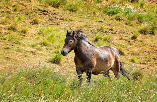 大人の馬は、北バーウィックの丘の近くの美しい緑の野原を歩いています。ノースバーウィック。イーストロージアン。スコットランド、イギリス。