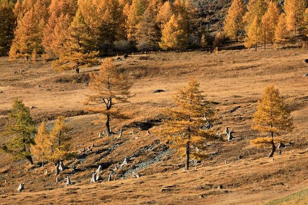 ロシアの西シベリアのチュイスキー高速道路からカラマツの木と黄金の秋の森を見る