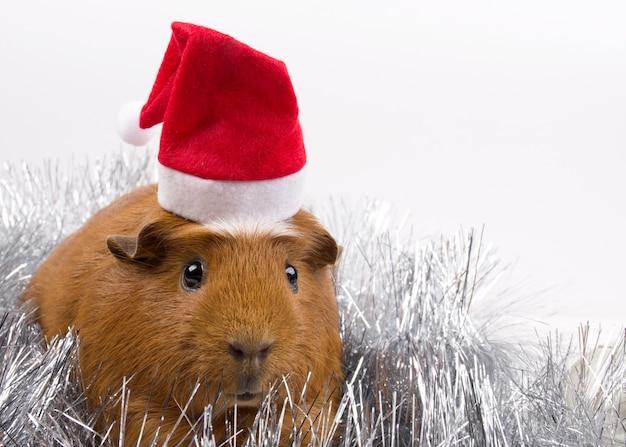 サンタの帽子をかぶってかわいいモルモット