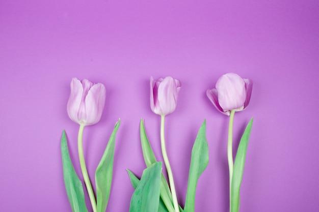 紫色の背景に紫のチューリップ