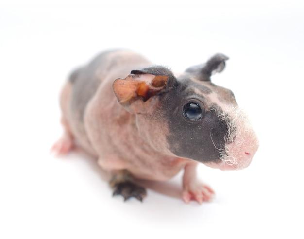 白で隔離される大きな耳を持つかわいいスキニーモルモットの赤ちゃん